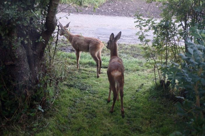 Via de 'zij-uitgang' verlaten de twee reeën onze tuin