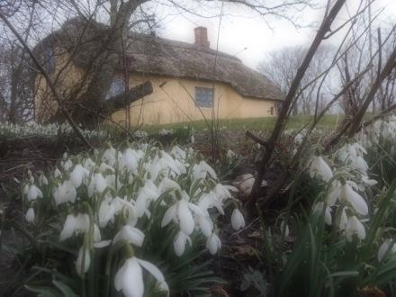 Sneeuwklokjes bij een kleine gele boerderij in Jutland in Denemarken, een bonduhus