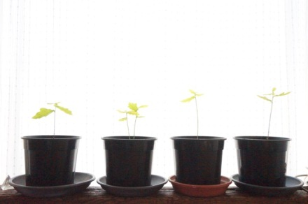 jonge eikenboompjes in een pot op de vensterbank