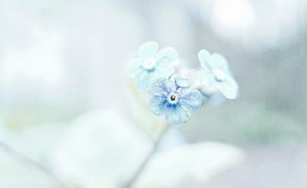 Vergeet-me-nietje, zachtblauw, drie bloemetjes