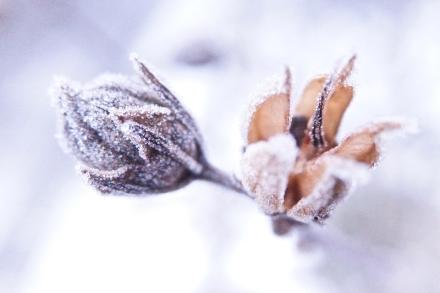 bevroren vrucht opengebarsten rijp