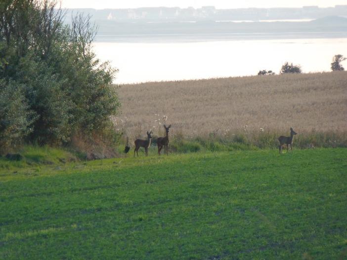 Drie reetjes in het veld, achtergrond Harboøre