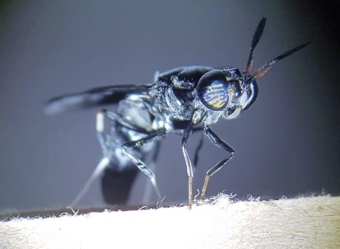 zwarte soldatenvlieg